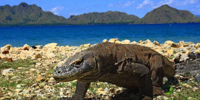 Komodowaran 660x330 - Komodo-Nationalpark in Indonesien verlangt 1000 Dollar Eintritt