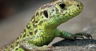 Zauneidechse – ist Symbol gegen Zerschneidung von Lebensräumen